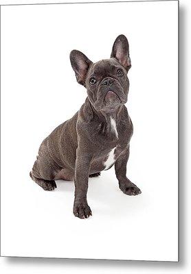 Blue French Bulldog  Metal Print