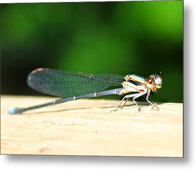 Blue-fronted Dancer Metal Print