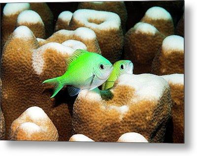 Blue-green Chromis On Coral Metal Print by Georgette Douwma
