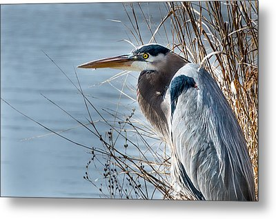 Metal Print featuring the photograph Blue Heron At Pond by John Johnson