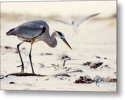 Blue Heron At The Beach Metal Print