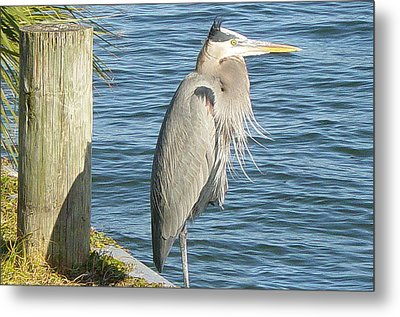 Blue Heron Metal Print by Becky Sterling