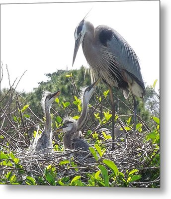 Metal Print featuring the photograph Blue Heron Family by Ron Davidson