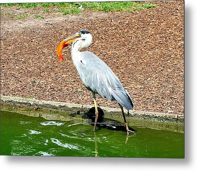 Metal Print featuring the photograph Blue Heron Feeding by Joe  Ng