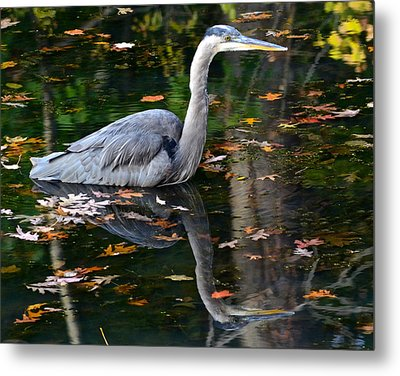 Blue Heron In Autumn Waters Metal Print by Frozen in Time Fine Art Photography