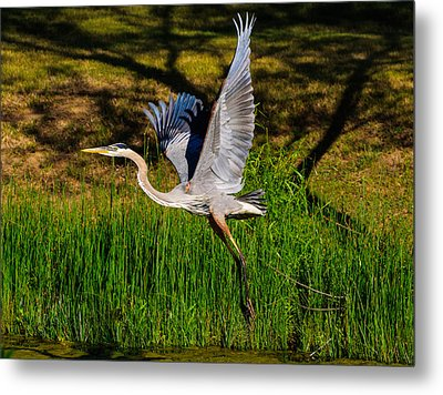 Metal Print featuring the photograph Blue Heron In Flight by John Johnson