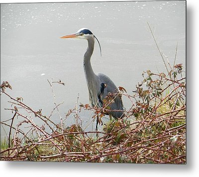 Metal Print featuring the photograph Blue Heron In Padilla Bay by Karen Molenaar Terrell