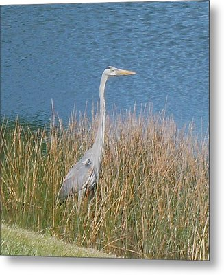 Metal Print featuring the photograph Blue Heron by Kristine Bogdanovich