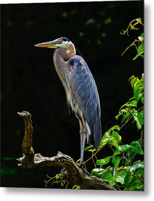 Blue Heron Majestic Pose Metal Print