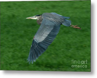 Blue Heron Metal Print by Rod Wiens