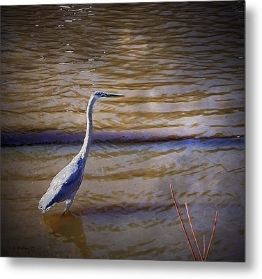 Blue Heron - Shallow Water Metal Print by Brian Wallace