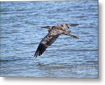 Blue Heron Water Flight Metal Print