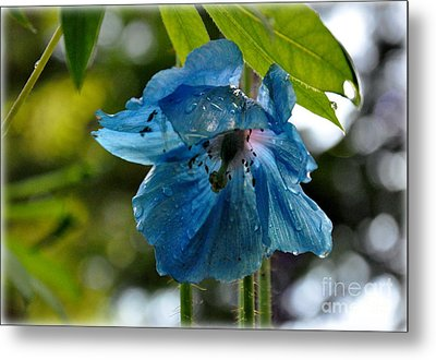 Blue Himalayan Poppy Metal Print by Tanya  Searcy