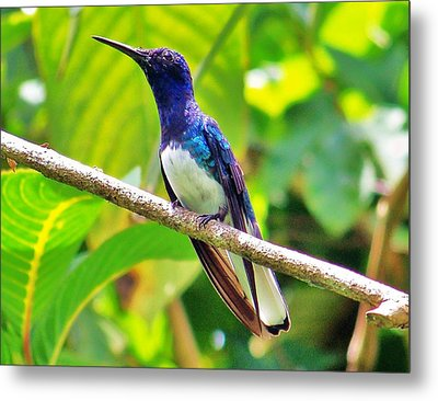 Metal Print featuring the photograph Blue Humming Bird by Al Fritz