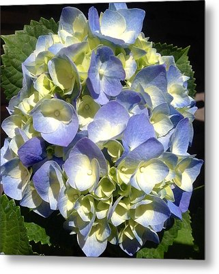 Blue Hydrangea  Metal Print by Alohi Fujimoto