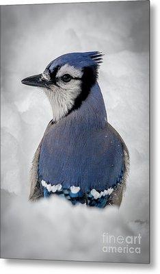 Blue Jay Alert Metal Print