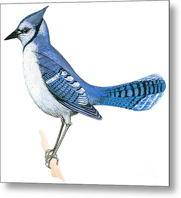 Blue Jay  Metal Print by Anonymous