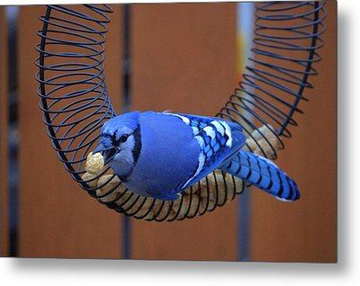 Blue Jay At The Feeder Metal Print by Larry Trupp