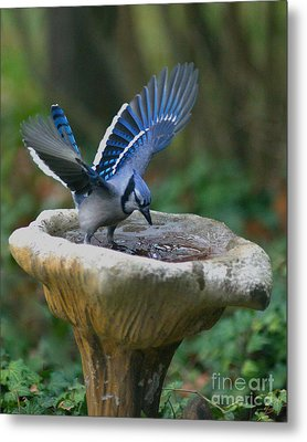 Blue Jay Bath Metal Print by Jane Axman