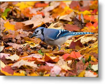 Blue Jay Foraging Metal Print