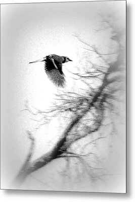 Blue Jay In Black And White Metal Print by Kathy Peltomaa Lewis