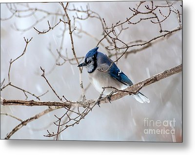 Blue Jay In Blowing Snow Metal Print by Debbie Green