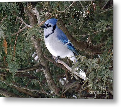Metal Print featuring the photograph Blue Jay In The Cedars by Brenda Brown