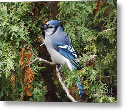 Metal Print featuring the photograph Blue Jay In Cedar Tree by Brenda Brown