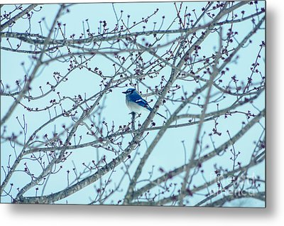 Blue Jay In Winter Metal Print by Jennifer White