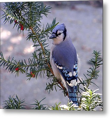 Blue Jay - Morning Visitor  Metal Print by Susan  Dimitrakopoulos