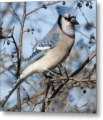 Blue Jay.. Metal Print by Nina Stavlund