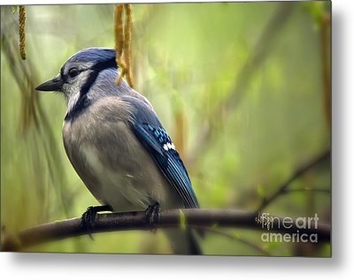 Blue Jay On A Misty Spring Day Metal Print by Lois Bryan
