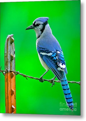 Blue Jay On The Fence Metal Print by Robert Frederick