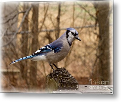 Blue Jay  Metal Print by Sandra Clark