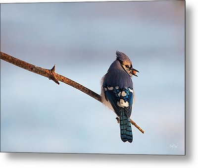 Blue Jay With Nuts Metal Print by Everet Regal