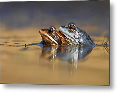 Blue Love ... Mating Moor Frogs  Metal Print by Roeselien Raimond