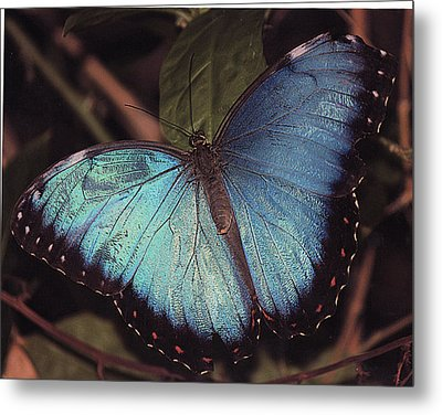 Metal Print featuring the photograph Blue Morpho by Bill Woodstock