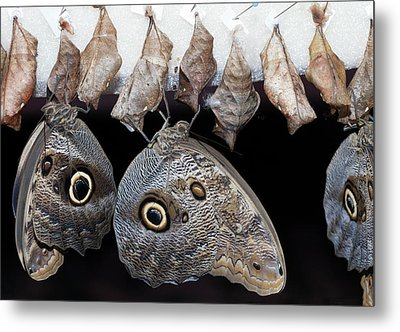 Blue Morpho Butterflies And Cocoons Metal Print by Dirk Wiersma