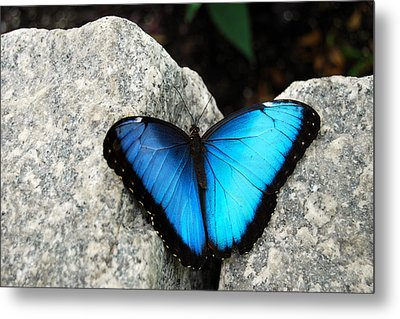 Blue Morpho Butterfly Metal Print by Eva Kaufman