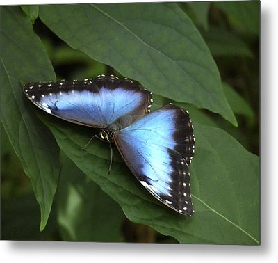 Blue Morpho Butterfly I. Metal Print by Chris  Kusik