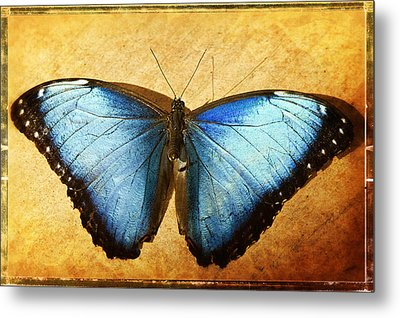 Blue Morpho Butterfly  Metal Print by Saija  Lehtonen