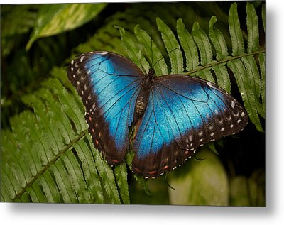 Blue Morpho Butterfly Metal Print by Sandy Molinaro
