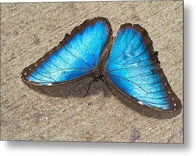 Metal Print featuring the photograph Blue Morpho by John Hoey