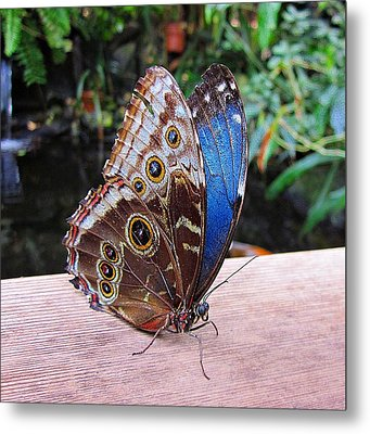 Blue Morpho Metal Print by MTBobbins Photography
