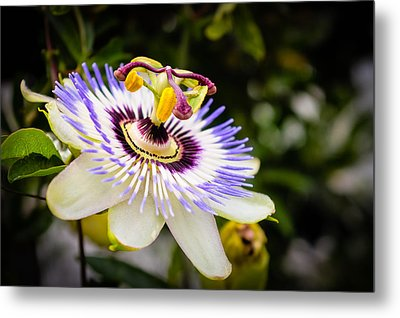 Blue Passion Flower Metal Print