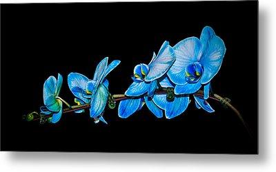 Blue Phalaenopsis Orchid Metal Print