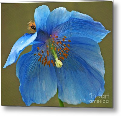 Metal Print featuring the photograph Blue Poppy by Chris Anderson
