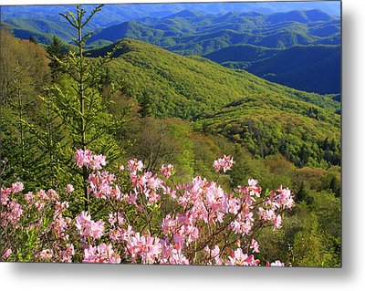 Blue Ridge Parkway Rhododendron Bloom- North Carolina Metal Print by Mountains to the Sea Photo