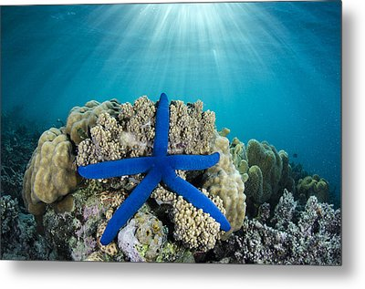 Blue Sea Star Fiji Metal Print by Pete Oxford