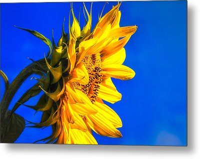 Blue Sky Sunshine Sunflower Metal Print by Bob Orsillo